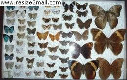 Encontraron en Andresito más de 30 mariposas no registradas en Argentina